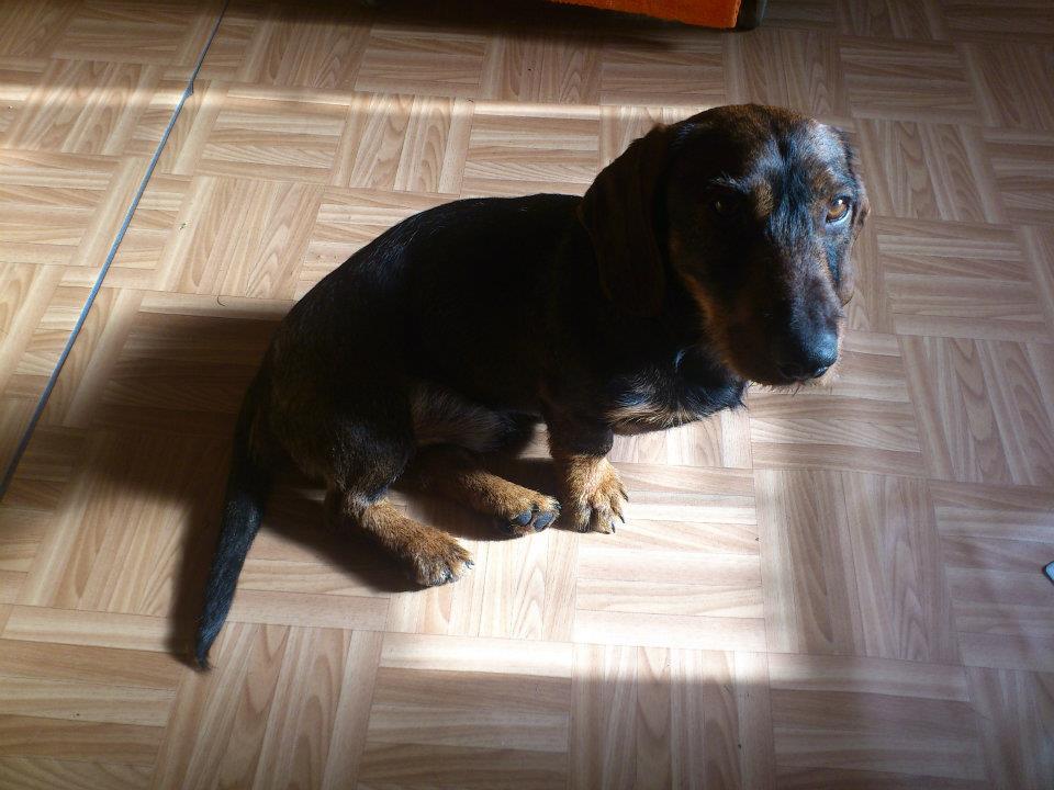 Jazvečík - pes