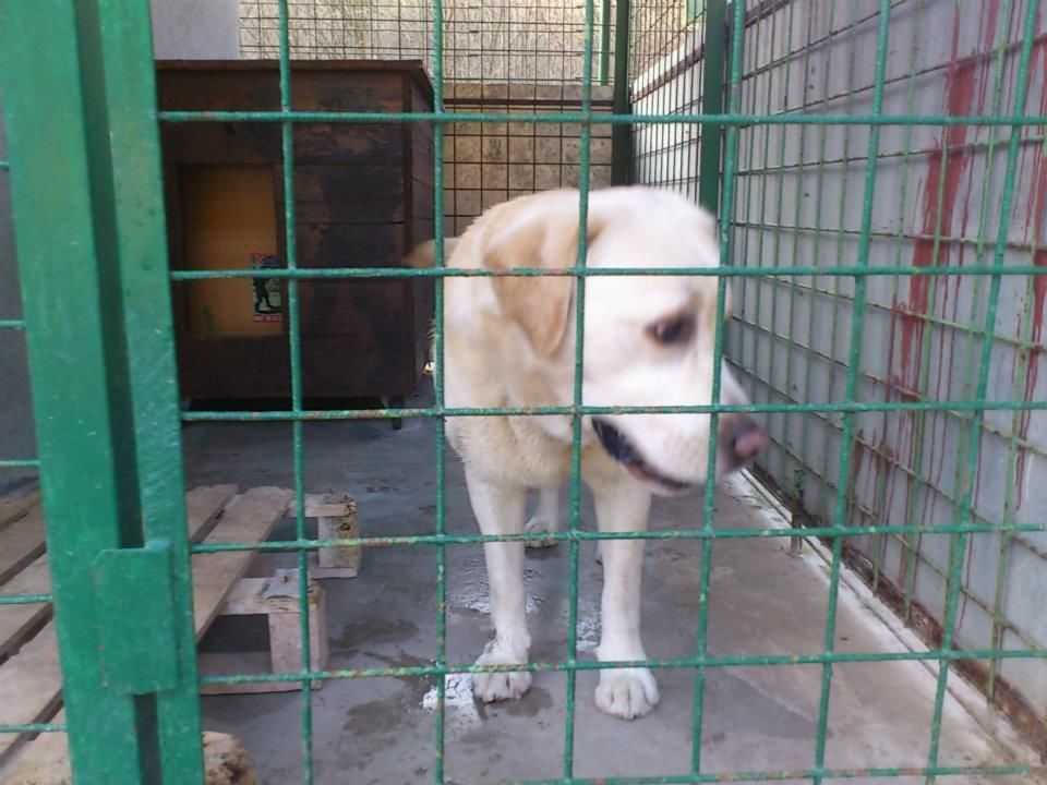 Labrador - pes