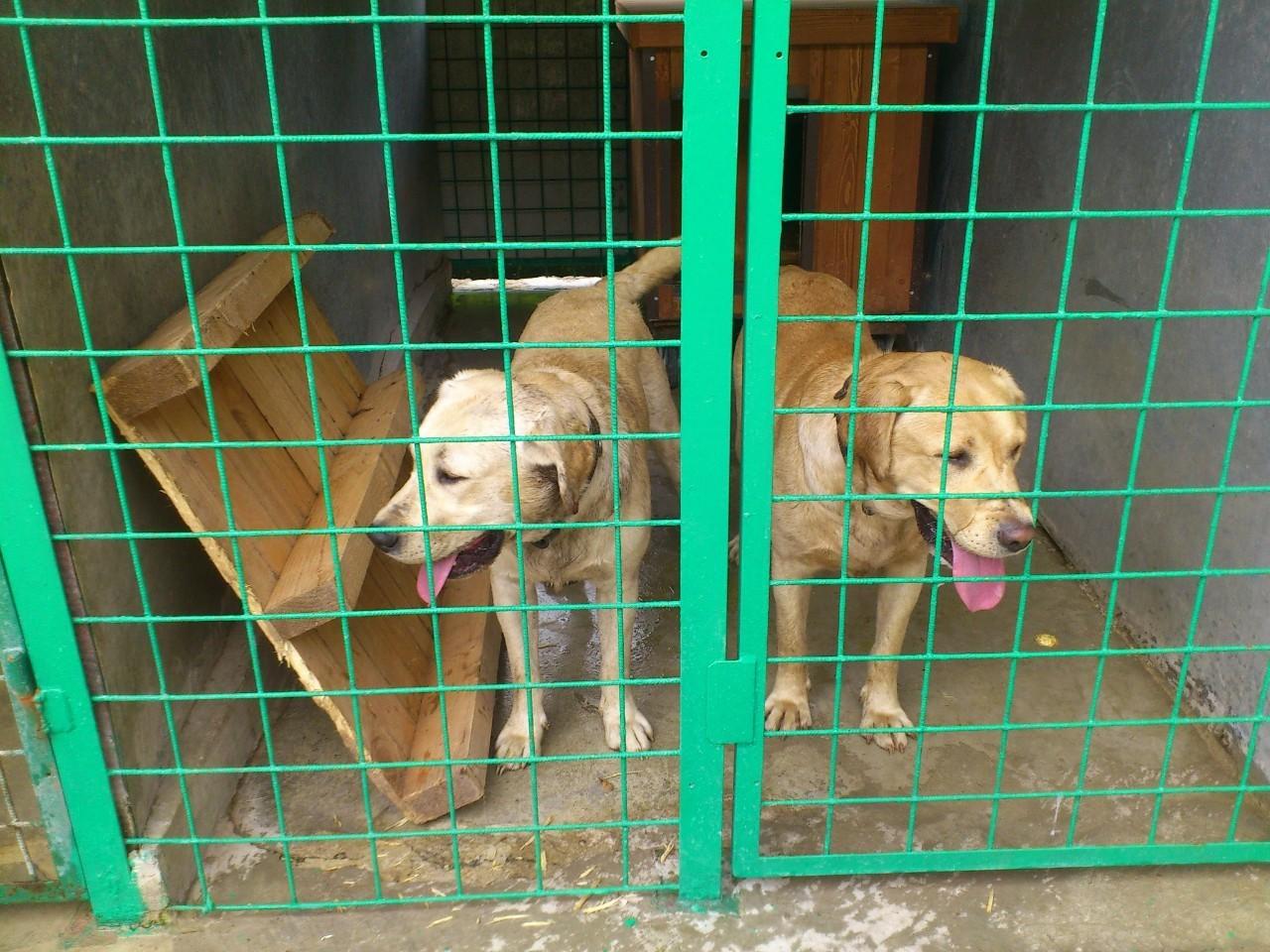 Dvaja labradori - psi